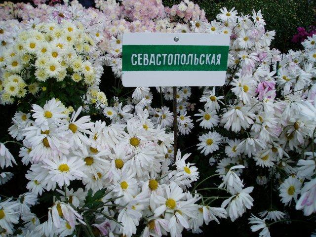 Парад хризантем в Никитском ботаническом саду. Крым  378c3e3b7426