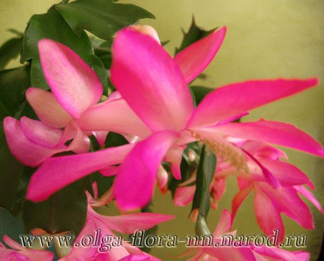 "Лесные кактусы ""Декабристы"" (Шлюмбергеры, Рипсалидопсисы, Эпифиллумы) 679ffb680ef0"