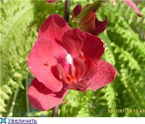 Фаленопсисы гибридные - Страница 16 F8829ad2b2a1t