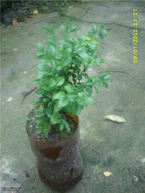 Растения из Сочинского питомника - Страница 3 0ab6e57ee4de