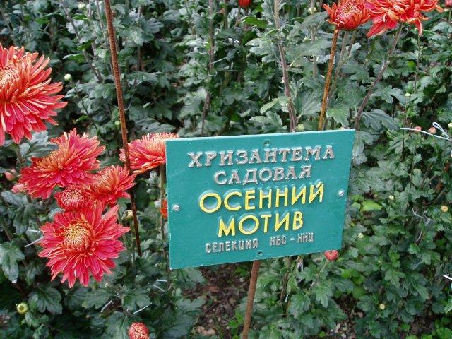 Парад хризантем в Никитском ботаническом саду. Крым  6eea3f0a2134