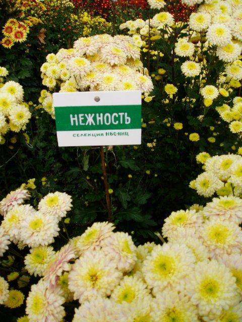 Парад хризантем в Никитском ботаническом саду. Крым  6b4c7aa8b184