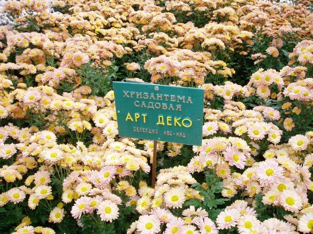 Парад хризантем в Никитском ботаническом саду. Крым  17079d2f1da6