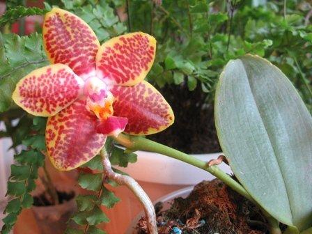 Phalaenopsis Penang Girl Cc51f5e52a16