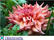 Георгины в цвету 9d2d5703670at