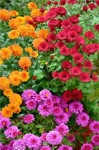 Хризантемы - Страница 11 048353271504