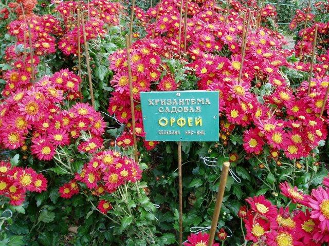 Парад хризантем в Никитском ботаническом саду. Крым  03311b638cc2