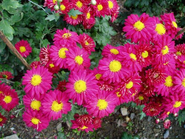 Парад хризантем в Никитском ботаническом саду. Крым  Ebaf09341a66