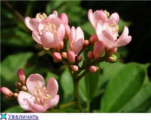 Орхидеи и прочая красота на о. Пхукет - Страница 2 E40682d1364ft