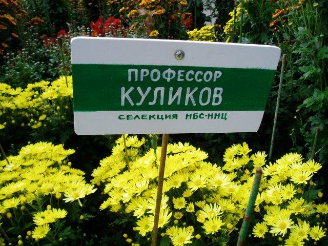 Парад хризантем в Никитском ботаническом саду. Крым  52d476de1bdb