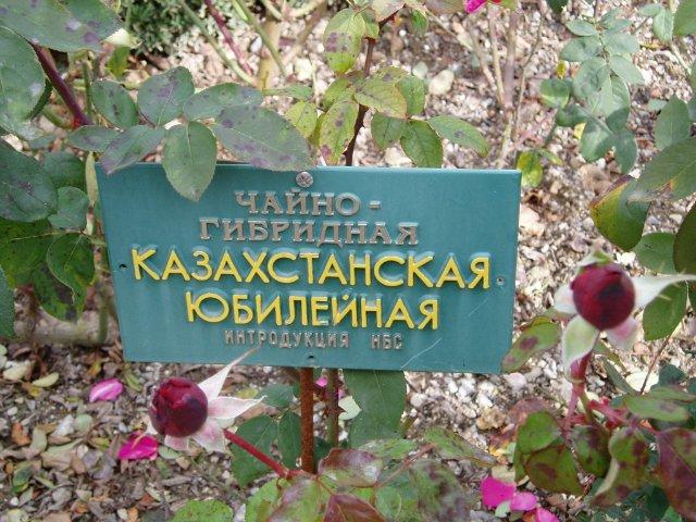 Парад хризантем в Никитском ботаническом саду. Крым  B3a532f3747e