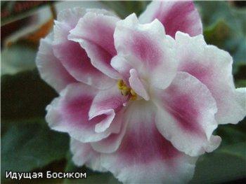 Цветочные красотки и красавцы Идущей Босиком - Страница 5 Efe8700a6b9f
