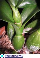 Странности и интересности наших орхидей 143efa70ae7at