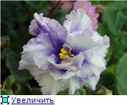 Геснеривые (фиалки, глоксинии, стрептокарпусы, и.т.д.)  48479adadb15t