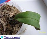 Реанимация орхидей. D591cd73ee2ct