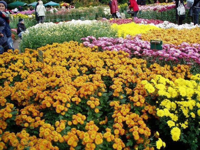 Парад хризантем в Никитском ботаническом саду. Крым  15d6df038943