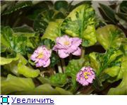 Продам цветущие фиалки и детки, эписции, глоксиии, сортовые герани, сингониум и др. - Страница 3 Fa44d00e5a0ct