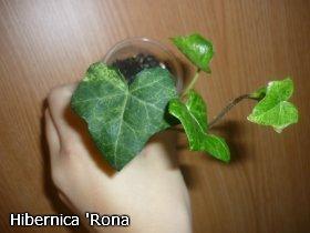 декоротивно-лиственные и красивоцветущие растения - Страница 3 217134de27cf