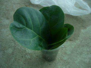декоротивно-лиственные и красивоцветущие растения - Страница 4 966838eee534