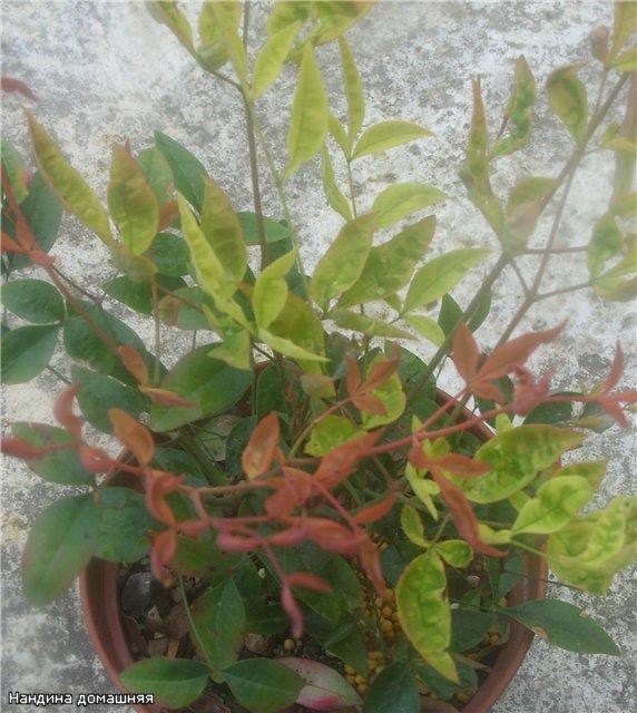 Растения из Сочинского питомника - Страница 2 49e1fc5ca778