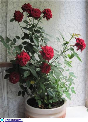 Розы в комнатной культуре - Страница 5 3edabbf6870bt
