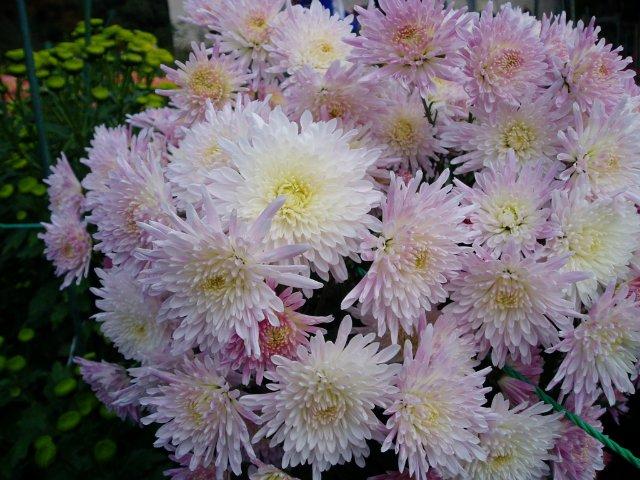 Парад хризантем в Никитском ботаническом саду. Крым  Ea832a66e1fc