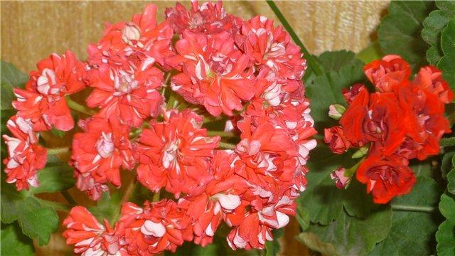 Мои любимые цветочки - Страница 39 49cf0aa5a5c4