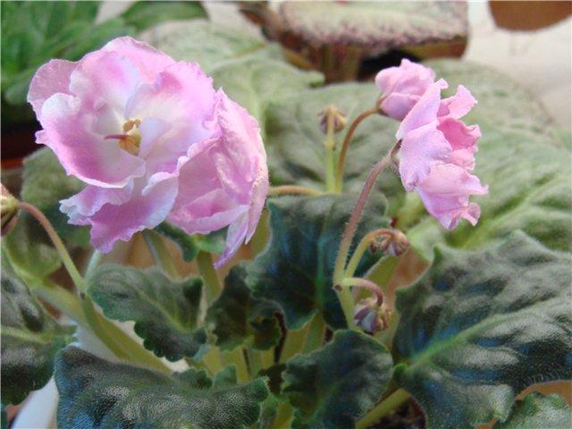 Продам цветущие фиалки и детки, эписции, глоксиии, сортовые герани, сингониум и др. 4edd47970df6