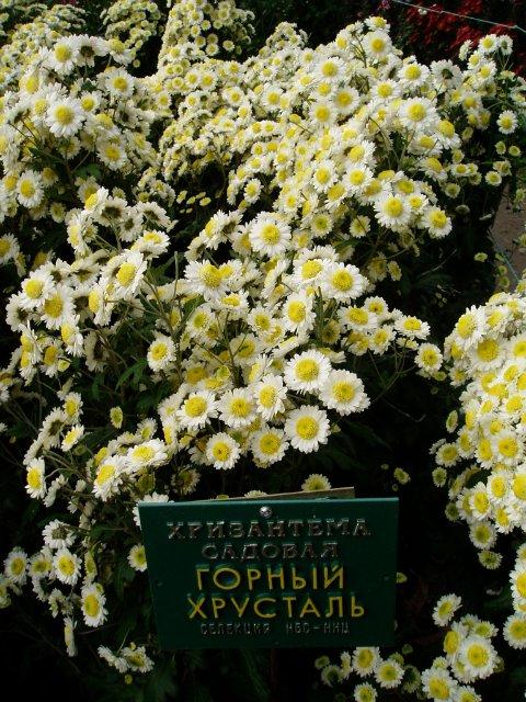 Парад хризантем в Никитском ботаническом саду. Крым  96a929cd7b86