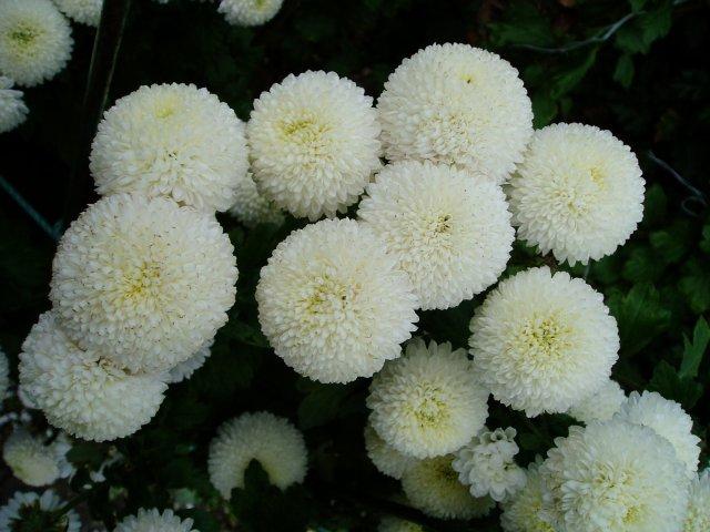 Парад хризантем в Никитском ботаническом саду. Крым  81959c695f4f