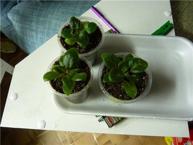 Выращивание фиалок из семян - Страница 4 5eae8ba483ab
