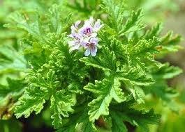 продам семена экзотических растений 036a86fecb25