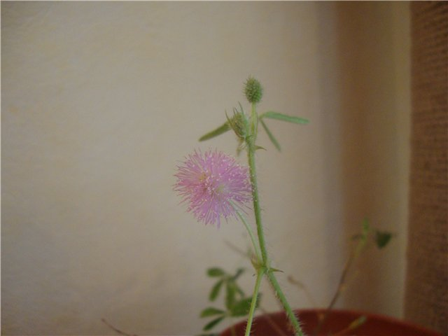 что я вырастила из семян - Страница 4 D9feb4bb2002