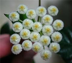 декоротивно-лиственные и красивоцветущие растения - Страница 3 C892cd071cba