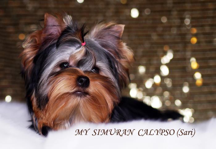 My Simuran Calypso (Сари)  A5981b26d54d