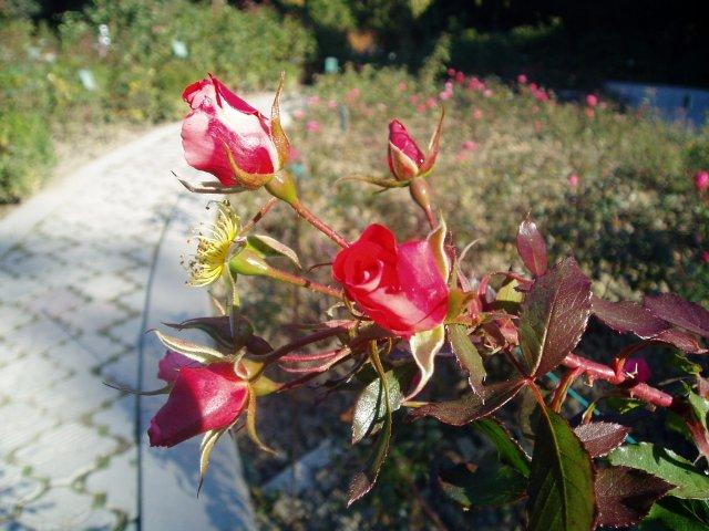 Парад хризантем в Никитском ботаническом саду. Крым  - Страница 2 17b4e6747961