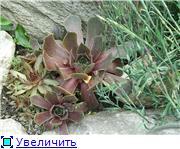 Растения для альпийской горки. 3c27ba8c51f6t