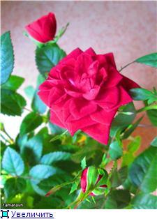 Розы в комнатной культуре - Страница 8 A214097644det