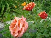 Розы-2013 8976ad1c188dt