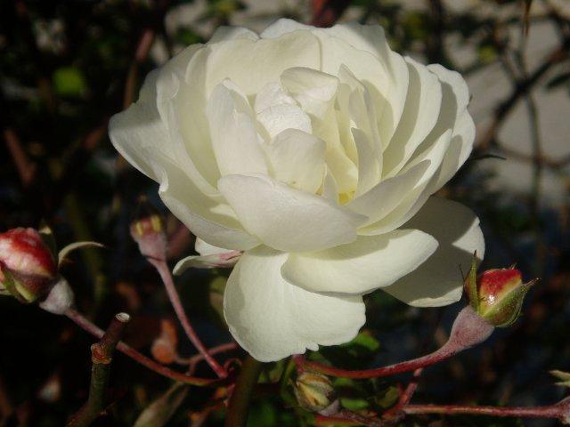 Парад хризантем в Никитском ботаническом саду. Крым  - Страница 2 59fbb0fdc837