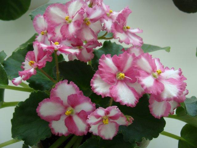 Мои цветочки - Страница 39 8b9bbadab0a6