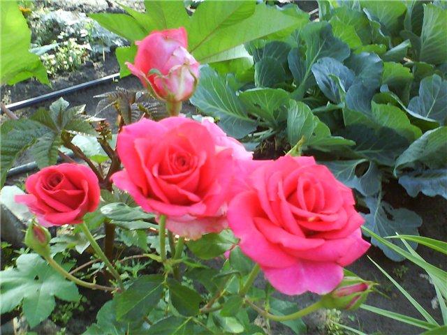 Что растет у нас в саду ? - Страница 17 84cc667758ac