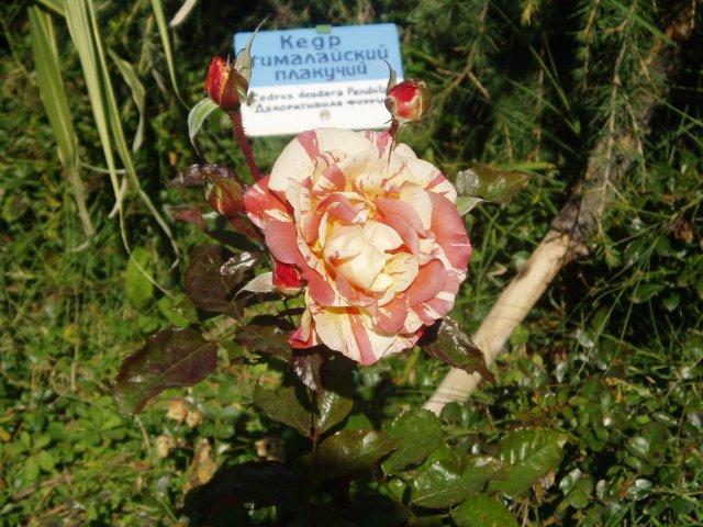Парад хризантем в Никитском ботаническом саду. Крым  - Страница 2 230184662412