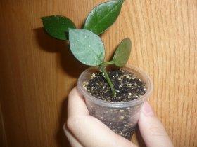 декоротивно-лиственные и красивоцветущие растения - Страница 3 4e607fc33632