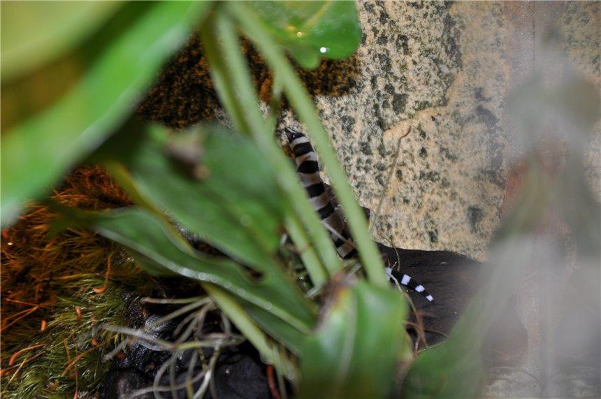 Американские карликовые гекконы 41881452841a