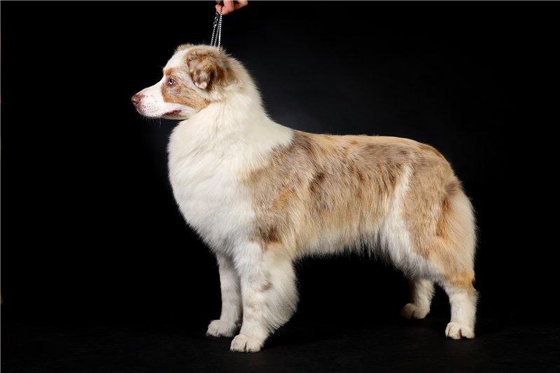 """Питомник """"Aurum Dog"""" D44f3c744075"""
