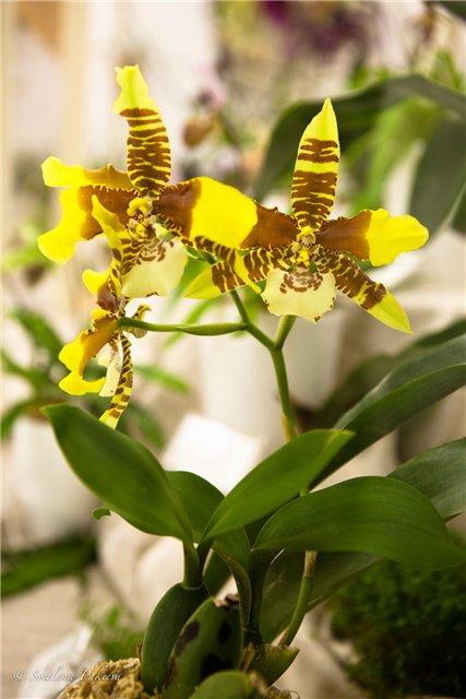 Выставка орхидей в Государственном биологическом музее им. К.А.Тимирязева E60714c172ca