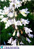 Растения для альпийской горки. - Страница 3 383950020011t