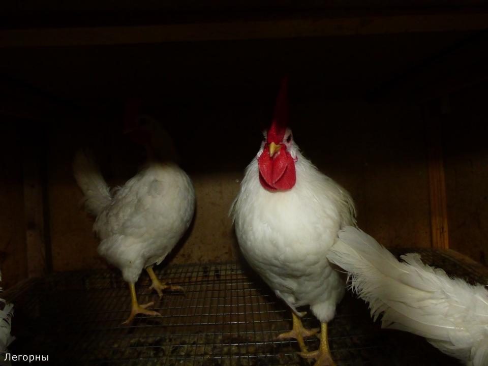Продажа инкубационного яйца породных кур: Бресс Гальская, Ред Айленд, Карликовый Легорн, Фокси Чик 1f901dfeade1