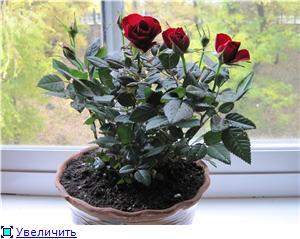 Розы в комнатной культуре - Страница 3 C769c5de0f5ct